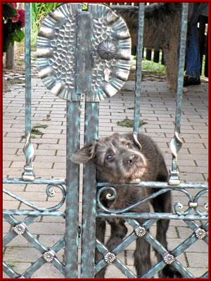 irischer Wolfshundwelpe inspiziert seine neue Grenze