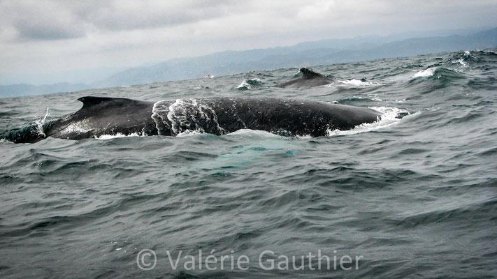 Baleines à Puerto Lopez