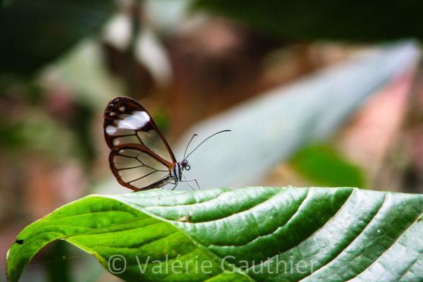 Papillon aux ailes transparentes dans la forêt de Vilcabamba