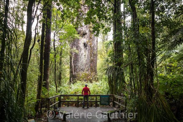 NOUVELLE ZELANDE - Waipoua Forest : devant un kauri 2 fois millénaire