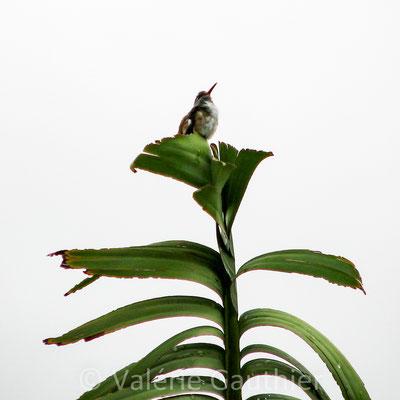 Colibri au sommet d'un bananier dans un jardin de Vilcabamba