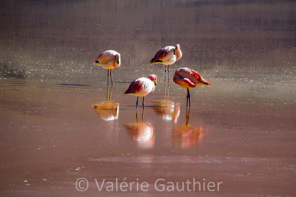 Flamants roses dans la laguna Colorada - Sud Lipez