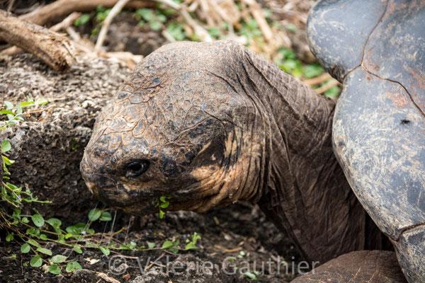 Tortue des Galápagos
