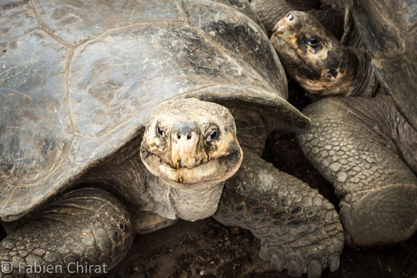 GALAPAGOS - Île Isabela - tortues