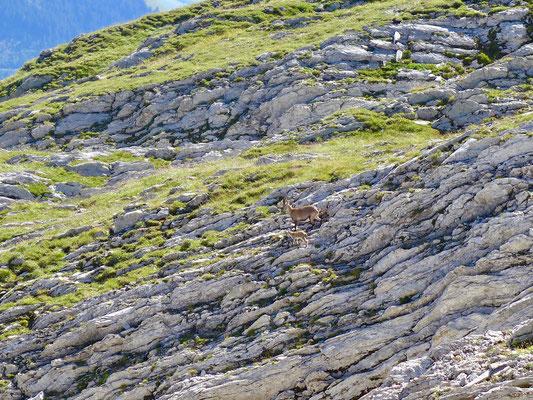 Ein Gams mit ihrem Kitz kreuzte den Weg kurz vor dem Gipfel