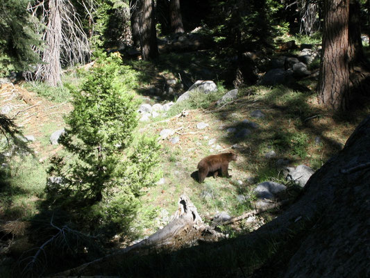 Black Bear im Sequoia National Park