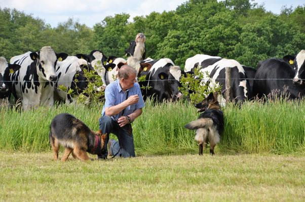 Wandeling met Ixy en Lea. Onbevangenheid van beide honden ten opzichte van vee, mits ze niet gaan rennen.