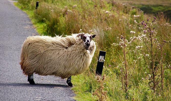 das viereckige Schaf
