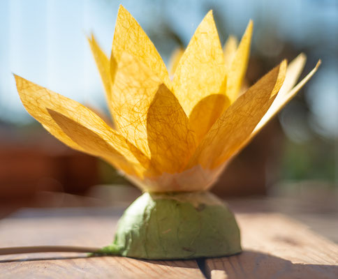Lotusblume gelb