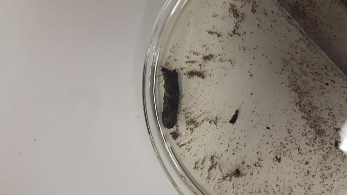 Abb. 2:  Potamophylax aus dem Kirbach