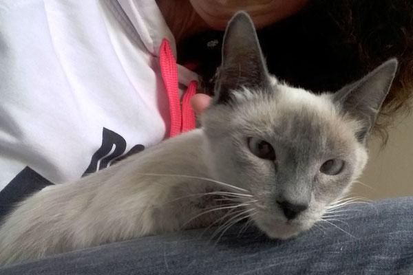 LUNA, 7 meses, raza Siamesa. Esta preciosidad de gata, fina y delgada, es muy muy tímida, pero ya poco a se está relajando e integrándose con la familia. Le encanta que la peinen, muy juguetona y una gran ronroneadora ¡Un Amor!