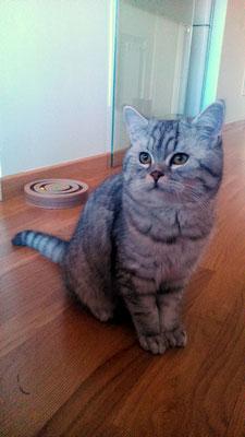 KRATOS, 6 meses, raza British Shorthair. Cariñoso e incansable jugando. Vive con Galleta.