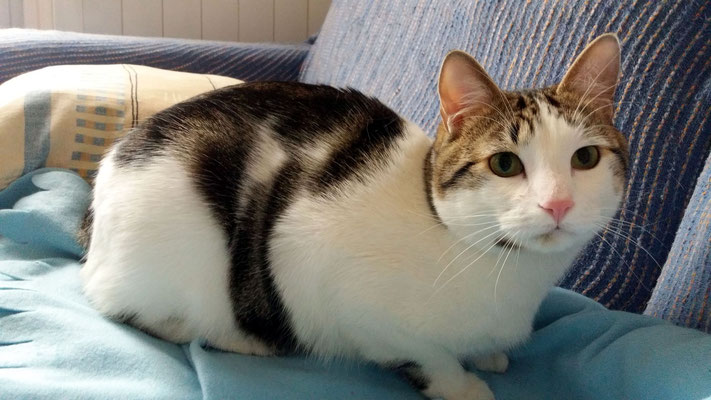 NIKI, 1 año, es muy, muy tímido y de primeras se esconde, pero con tranquilidad y llamándoles suavemente, sale pasito a pasito. Ya con confianza es un gato muy cariñoso, dulce, mimosón y muy juguetón ¡Un Amor!