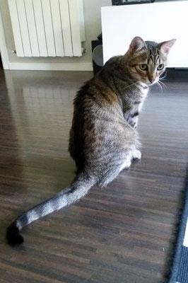 FLUZO, 4 años. Es un gato cariñoso, charlatán, pero destacaría lo juguetón que es, tiene absoluta debilidad por su cuerda a la hora de jugar ¡Increíble! jejeje