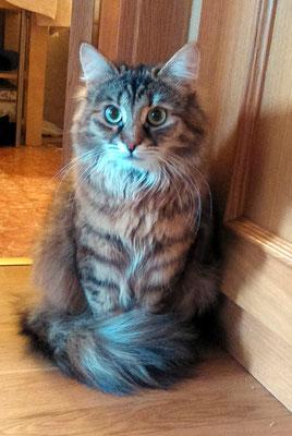 MIEL, 1 año, raza Siberiano. Es tranquilo, observador y un cielo. Vive con Sésamo.