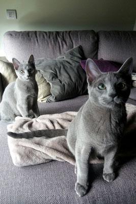 GALA (Izq.) y BLUE (Dch.), hermanos de 6 meses, raza Azul Ruso y son los dos tremendamente cariñosos, juguetones, mimosos... ¡Unos Amores! como solemos decir.