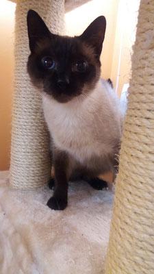 SALEM, raza Siamés, es muy tímido, pero muy curioso y cuando ya se suelta un poco, descubrimos un gato muy mimoso y cariñoso. ¡Guapo a rabiar!