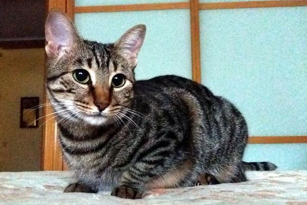 NUCA, 2 años, una preciosa muy charlatana gatita atigrada. Es muy juguetona y adora las caricias y los mimos.