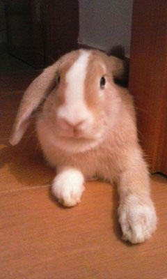 TELMA, conejo Belier enano, 6 meses. ¡Preciosa y lista como ella sola!