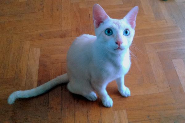 DYLAN, enormes ojos azules, es un amor , muy cariñoso, mimoso y charlatán.