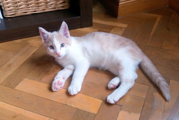 MIKO, 3 meses, NUEVO HERMANO DE NERO, un torbellino encantador, ronroneador, muuuyyy juguetón que es lo que toca :)