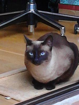 BELLATRIX, 3 años, raza Siamesa, un encanto y muy dulce. Vive con Delilah.