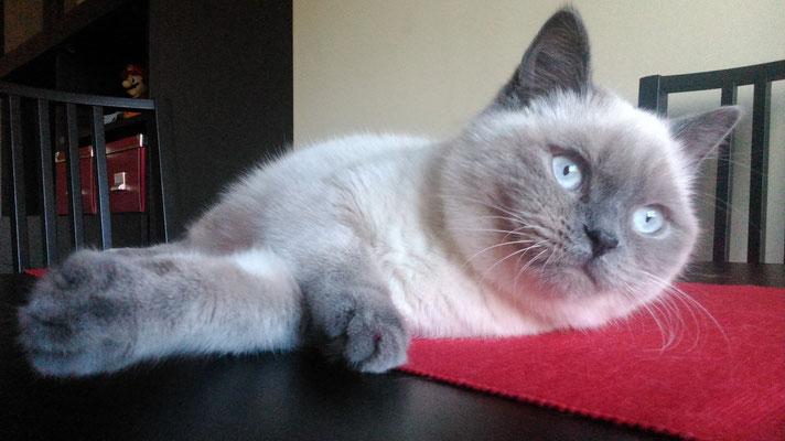 GALLETA, 6 meses, raza British Shorthair. Cariñosa y muy juguetona. Vive con Kratos.