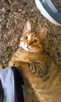 TIGER, 1 año, juguetón y cariñoso, le encanta meterse en su túnel.