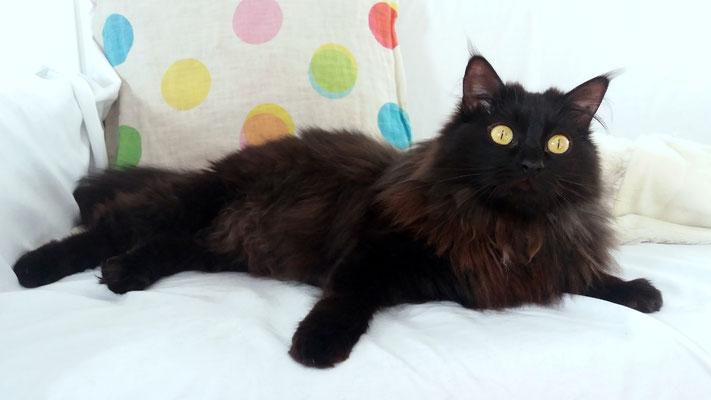 CUTU, 3 años, vive con MUSU, es cariñoso, mimosón, muy juguetón y le pierde la comida húmeda.