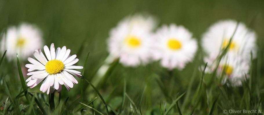 Gänseblümchen/ Bellis perennis