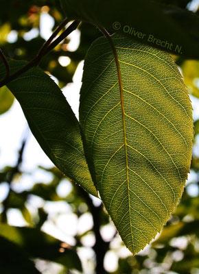 Gewöhnlicher Flieder/ Syringa vulgaris