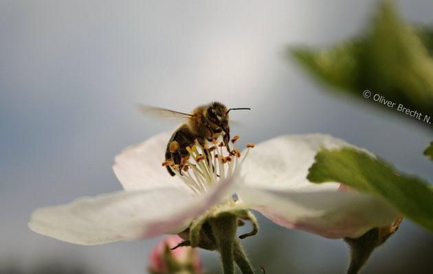 Biene bei der Bestäubung einer Apfelbaumblüte
