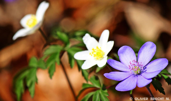 Buschwindröschen/ Anemone nemorosa & Leberblümchen/ Hepatica nobilis