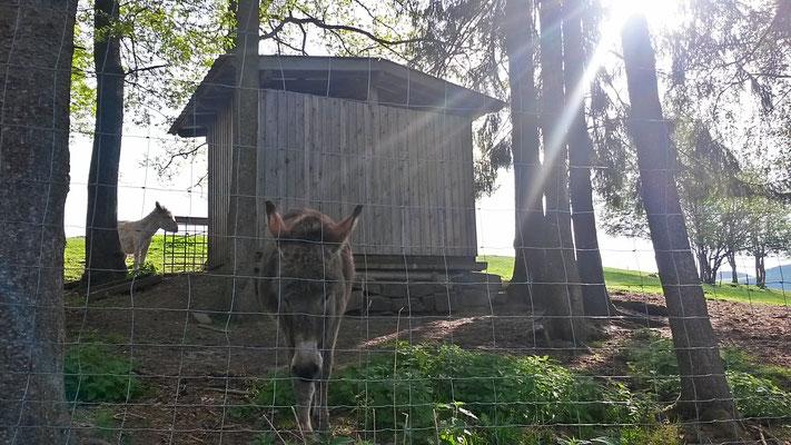 Zwei Esel in der Morgensonne, wer steht denn da so früh auf?