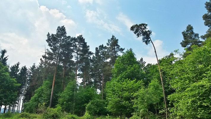 Wildwachsender Wald, hier wird die Natur sich selbst überlassen