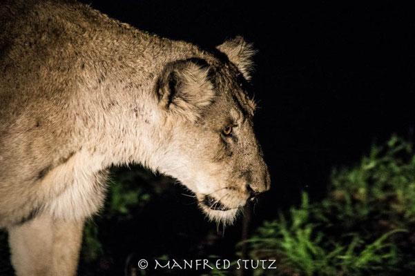 KNP: Löwin bei Nacht