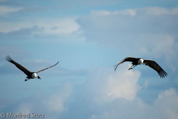 Klunkerkranich (Wattled Crane)