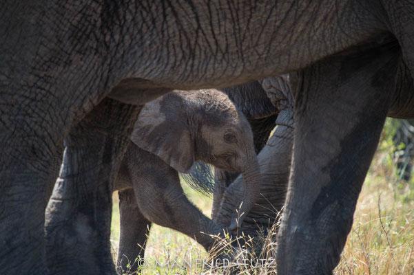 KNP: Elefantenbaby