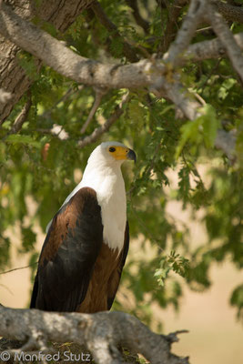 Ruaha NP: Schreiseeadler (African Fish Eagle)