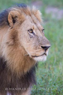 Stolzer Löwe auf seinem Revierrundgang