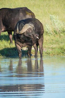 Little Vumbura: African Buffalo (Afrikanischer Büffel/Kaffernbüffel)