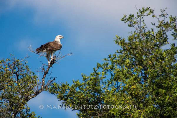 Little Vumbura: Juvenile Martial Eagle (Junger Kampfadler)