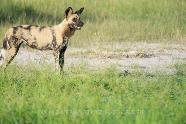 Duma Tau Camp: African Wild Dogs (Afrikanische Wildhunde)