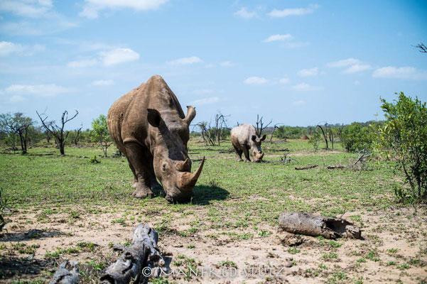 Mkhaya GR, Swaziland: White Rhino (Breitmaulnashorn)