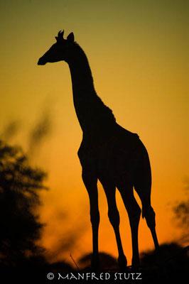 Mashatu: Giraffe im Sonnenuntergang