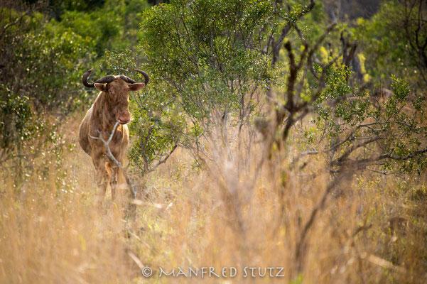 Mkhaya GR, Swaziland: Golden Gnu ???