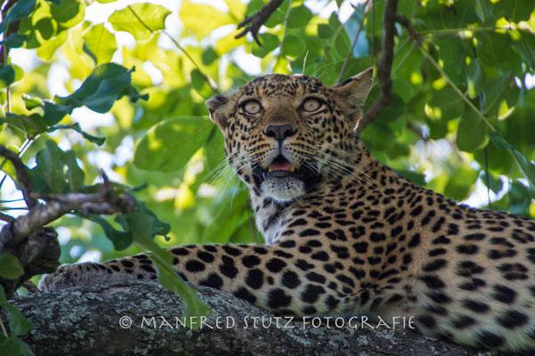 Pula eine weitere Leopardin im Mombo