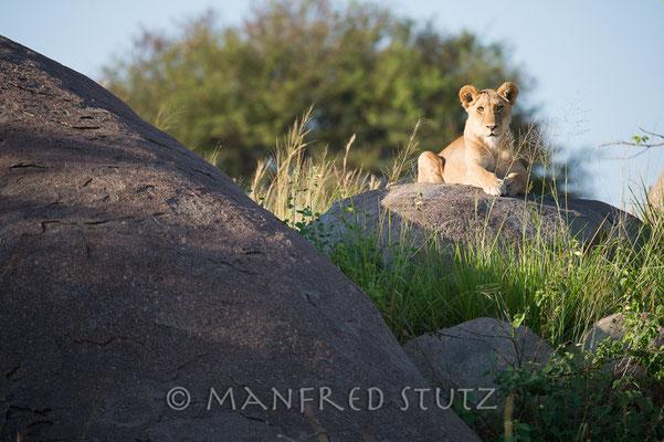 Löwe am Morgen, vertreibt Kummer und Sorgen.