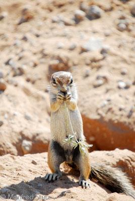 KNP: Erdhörnchen (Ground Squirrel)