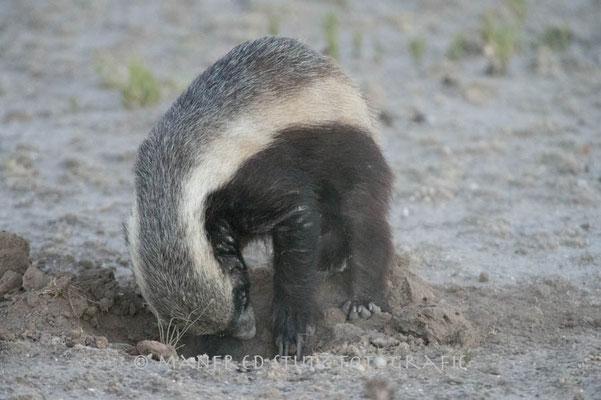 Kalahari: Honey badger (Honigdachs)